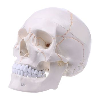 Life Size Human Skull Model Anatomical Anatomy Medical Teaching Skeleton Head Studying Teaching Supplies 85cm skeleton model with nerves system medical teaching educational equipment skeleton anatomy human spine and skull anatomical