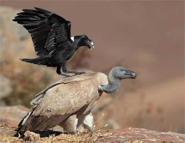 一系列有关于乌鸦俏皮的照片