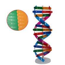 Fai da te DNA doppia elica modello strumento esperimento di scienze biologiche strumento di apprendimento dei geni umani per l'ufficio scolastico