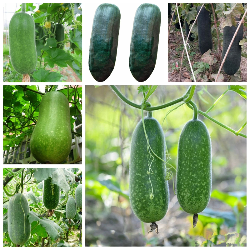 Hot Selling Vegetable Winter Melon Bonsai Wax Gourd (Asian Vegetable) Garden Decor Plant 20 PCS
