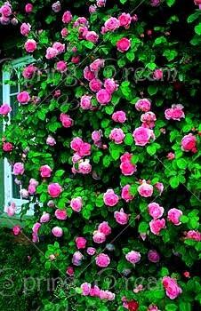100pcs / Pack Rose Tree Plant Flower Pot Indoor Bonsai Plant Home Garden Decoration
