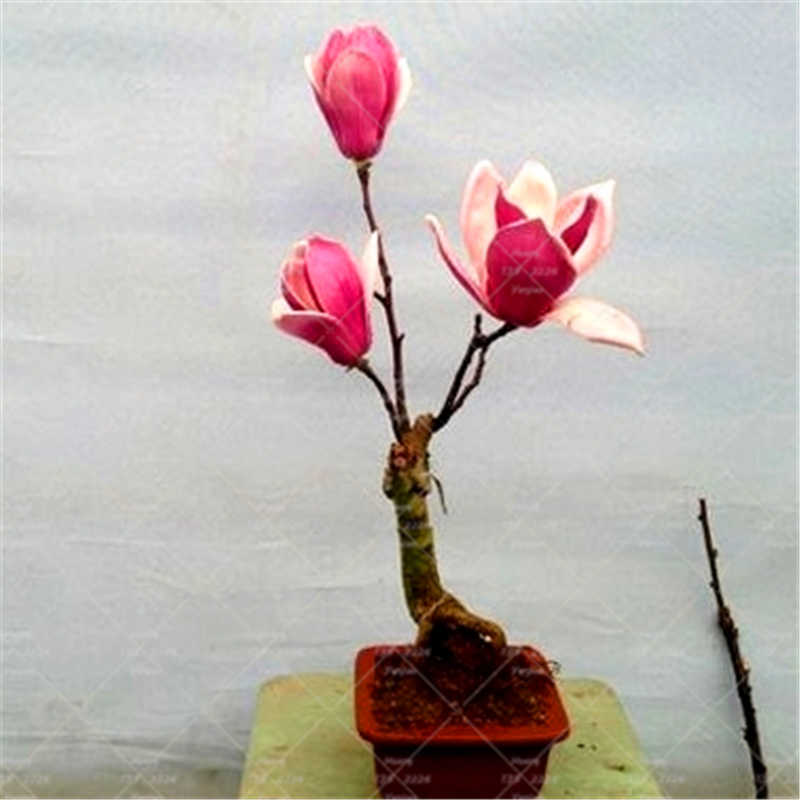 10 Capsules / Magnolia Bonsai Plants Indoor And Outdoor Flowers Plants Beautiful Flowers Family Garden Pot Planting