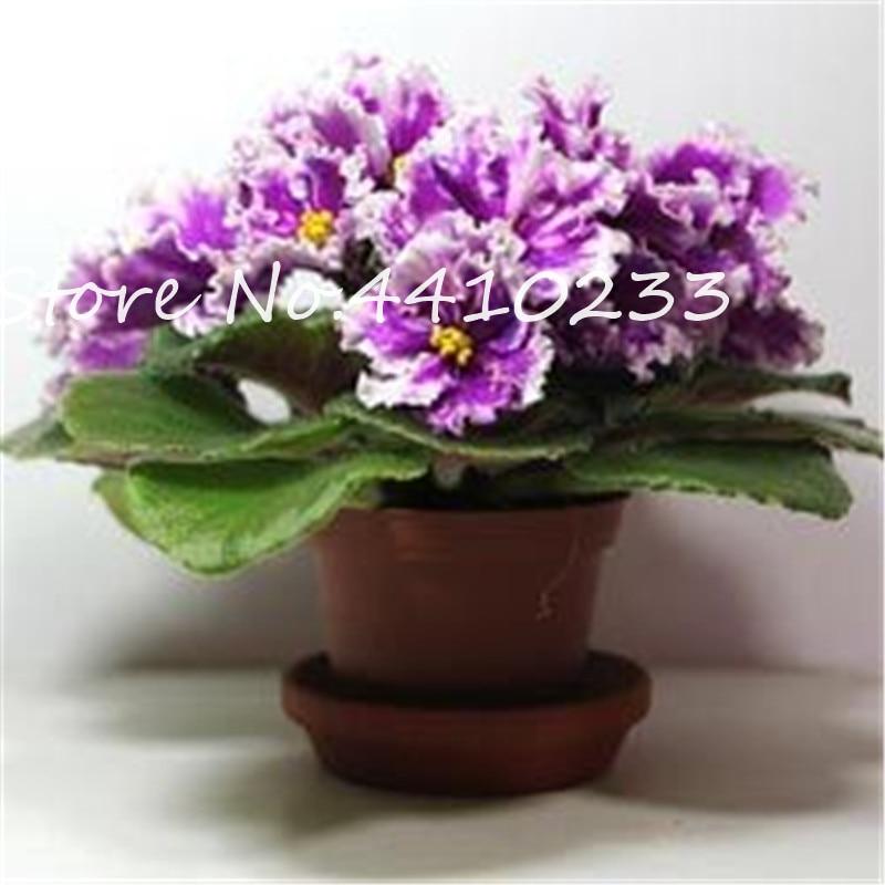 100-stks-Mini-Bonsai-Violet-Zeldzame-Afrikaanse-Bloem-Voor-Tuin-Voor-Bekijken-Avond-Geurende-Voorraad-Violet (2)