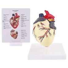 Собачье Сердце Анатомии Модель Собак Домашнее Животное Органа Исследовании Педагогические Науки Помощи Исследования Образования