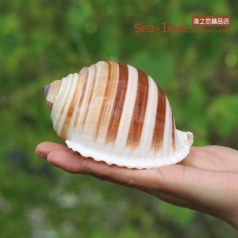 New Sea Snail Natural Shell Large Conch Fish Tank Aquarium Decoration Roll Shellfish Breeding Mediterranean Shell Pot Furnishing