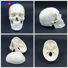 Модель человеческого черепа с натуральным размером анатомическая