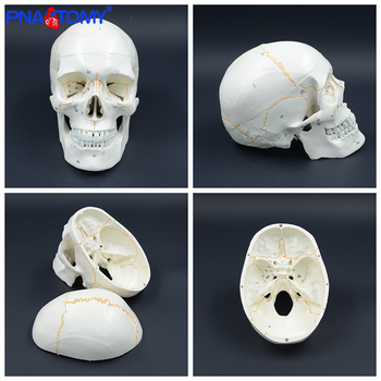 цена на Life size human numbered skull model Anatomical teaching head studying supplies Skeleton detachable jaw bone anatomy with manual