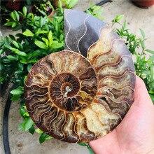 Ammonite natural bonito nautilus madagáscar fóssil espécime cura frete grátisPedras