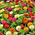 100 шт Редкие цветы Цинния Элеганс Семена бонсай сад природа растения дома ароматный ежегодный красочный цветок сущность маска для губ VS-5t