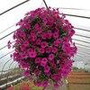 Garden Petunia A6