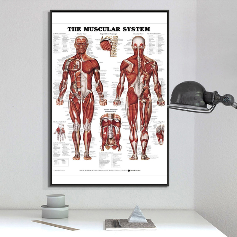 60cm*80cm Muscle System Posters Silk Cloth Anatomy Chart Science Educational