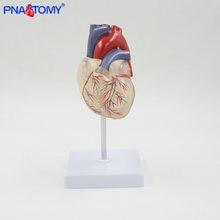 Прозрачная анатомическая модель человеческого сердца натуральный