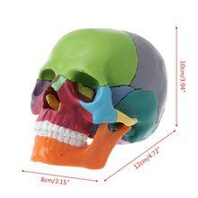 15pcs/set Skull Model 4D Disassembled Color Skull Anatomical Model Detachable Medical Teaching Tool