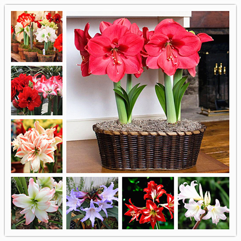 100pcs Amaryllis Bulbs True Hippeastrum Bulbs Flowers,Barbados Lily Potted Home Garden Balcony Plant Bulbous Free Shipping