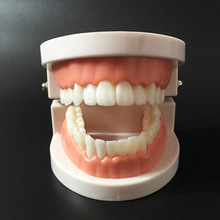 Oranice Dental Study Teaching Teeth Model Caries Tooth Education Dentist Equipment