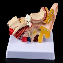 1.5 Times Life Size Human Ear Anatomy Model OrganMedical Teaching Supplies Professional цена в Москве и Питере