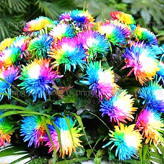 100pcs / Pack Rainbow Chrysanthemum Bonsai Tree Plant Flower Pot Indoor Bonsai Home Garden Decoration