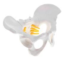 Model-Props Skeleton-Anatomy-Model Educational Teaching-Resources Female Mini