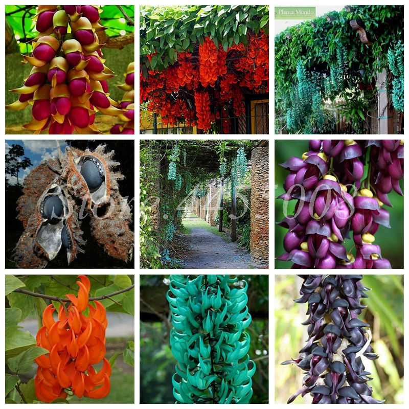 Imported Bonsai Mucuna Pruriens Exotic Jade Vine Perennial Climbing Garden Flower Fragrant Potted Home Planting Easy Grow 10 PCS
