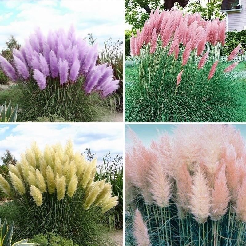 Hot Sale 5 Kind Of Pampas Reed-500pcs Garden Decoration