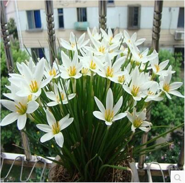 Zephyranthes Bulbous Zephyranthes Flower Ground Cover Plants Perennial Root Flower Very Mini Very Beautiful Nursery Direct Selli