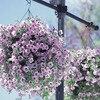 Garden Petunia A2