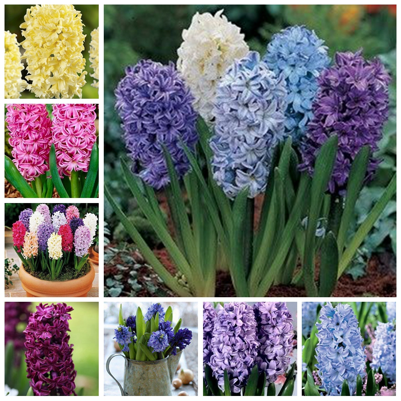 50 Pcs Mixed Hyacinthus Orientalis Bonsai Jardin Hyacinth Indoor Potted Plants Blooming Flowers For Home Garden Supplies Decor