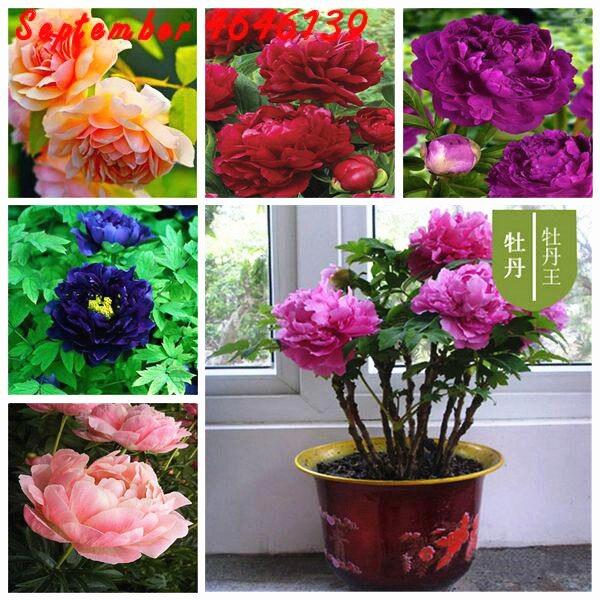 2019The Lowest Price10 Pcs Paeonia Lactiflora Bonsai Heirloom Tree Peony Plant Hardy Perennial Bonsai Plant Easy To Grow