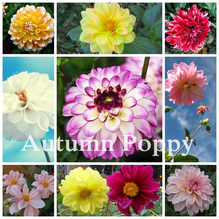 200Pcs Dahlia Flower Bonsai Seedsplants Jardin Charming Outdoor & Indoor Bonsai Dahlia Plant For Home Garden Potted Easy To Grow