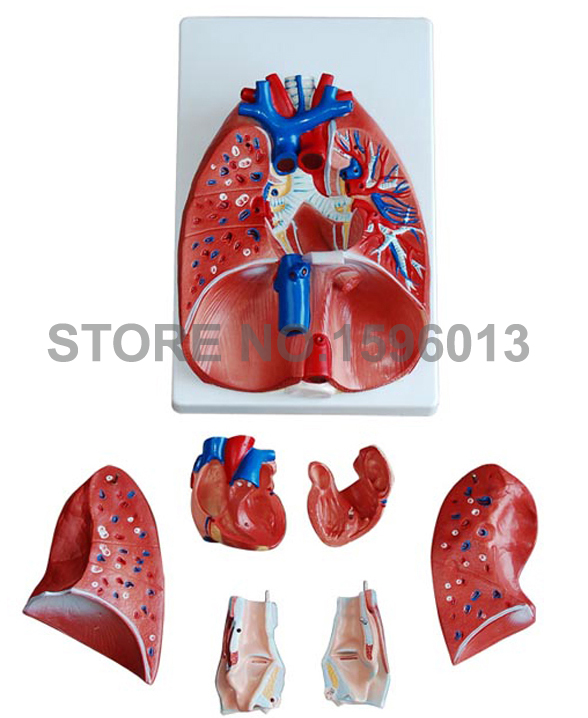 7-часть Модель легких с гортанью и сердца, анатомические легких модель сердца