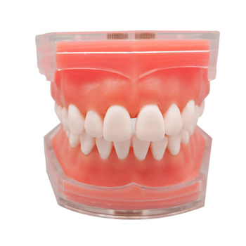 Dental Standard Model with Removable Teeth  Dental Study Teach Teeth Model dental diseases model dental lesions series model