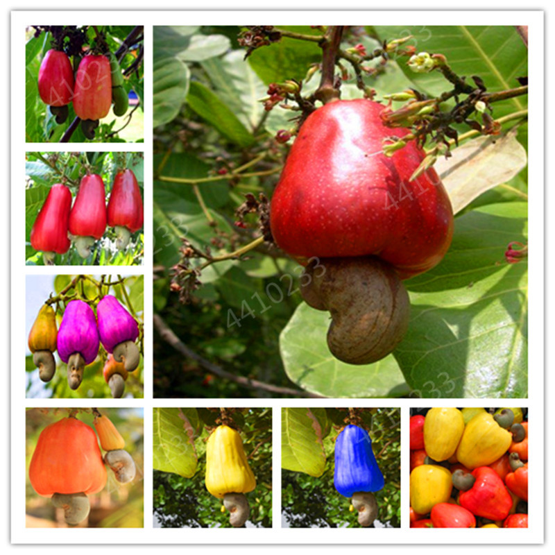Garden Plant 5 PCS Cashew Tree Seeds, Anacardium Occidentale, Rare Tropical Plant Tree Fruit Seeds