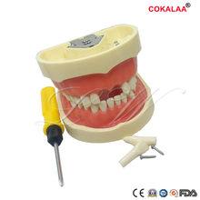 Modelo de demonstração modelo de ensino dental dentes dentários modelo credenciado com os dentes removíveis de 28/32 pces