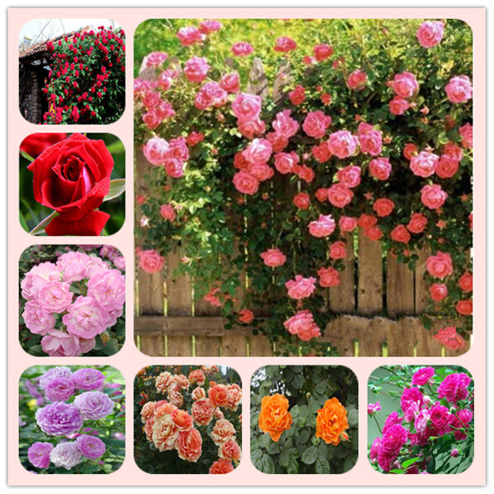 Plant Bath Salts 100Pcs Climbing Rose Essence MLXH-11