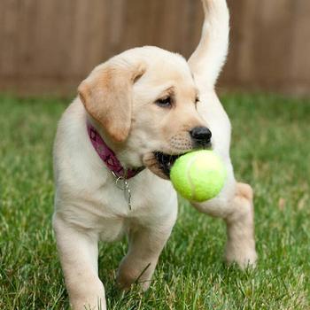 Piłka tenisowa dla gryzak dla psa zabawkowe zwierzątko mój pies interaktywna zabawka zabawkowe zwierzątko artykuły dla zwierząt na świeżym powietrzu krykieta zabawka dla psa piłka tenisowa s turniej sportowy tanie i dobre opinie Welkin CN (pochodzenie) YW-WE-909 Standard Pojedynczy pakiet Piłka treningowa Green