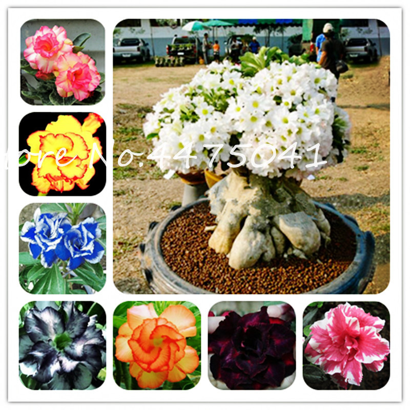 Bonsai Desert Rose Bonsai Flower Ornamental Plants Balcony Bonsai Potted Flowers Drawf Adenium Obesum Bonsai Tree -1 Particles