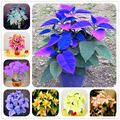 100 шт. Пуансеттия (Рождественская звезда) Семена природа аромат для дома и сада вьющееся растение, тимьян цветок сущность маска для губ TZH-S