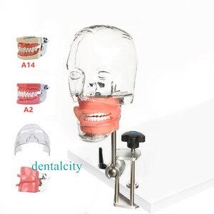 Image 5 - Dental simulator Nissin manikin phantom head Dental phantom head model with new style bench mount for dentist education