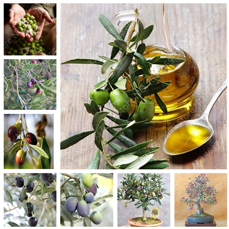 5 PCS Bonsai Olive Tree (Olea Europaea)Plant Mini Olive Planta Edible Vegetable Perennial Garden Potted Plant For Flower Pot
