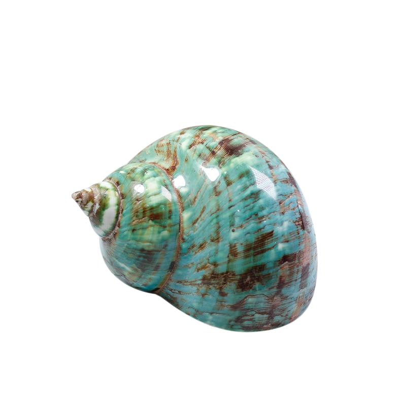 Fluorescent Pattern Snail Mediterranean Natural Shell Conch Collection Snail Home Decoration Crafts