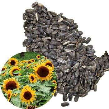 20/50Pcs Sunflower Plant Semilla семена растений Garden Decoration Grow Plant Garden Supplies сад и огород семена для посадки