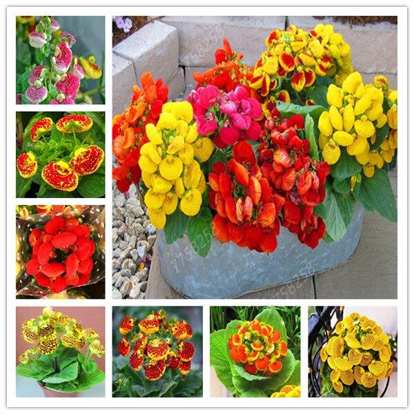 100 Pcs Dicentra Spectabilis Calceolaria Penzai Rare Flower In Home Garden DIY Penzai Beautiful Outdoor Plants Easy Planting