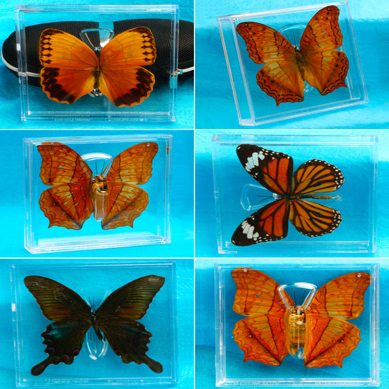 1pcs Real Butterfly Specimen Box Decoration Transparent Box Wings Butterfly Insect Specimen Picture Frame Student