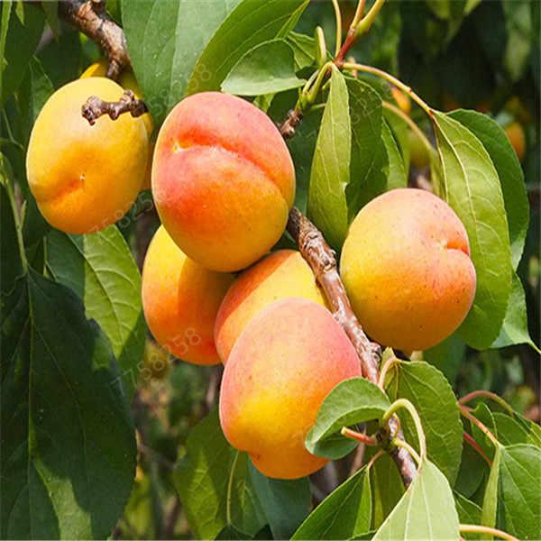 2 piezas bonsái albaricoque Planta de árbol orgánico en maceta Planta de Fruta hogar jardín Fruta comestible Perfume Fruta bonsái variedades