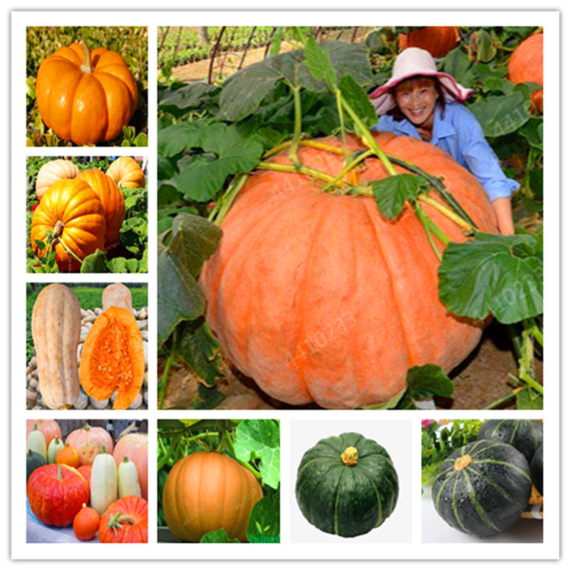 20 Pcs Sweet Pumpkin Bonsai Organic Heirloom Squash Winter Butternut Bonsai, Rare Vegetables Bonsai For Home Garden