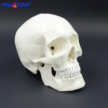 Life size human anatomy skull model head skeleton teaching model medical tool arts detachable anatomical model plastic PNATOMY transparent human heart anatomical model life size detachable with base plastic made medical teaching tool pnatomy