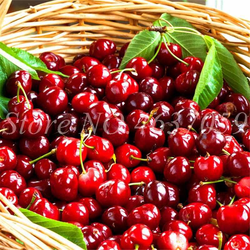 50 Pcs/Tas Mini Cherry Pulau Flores Bonsai Pohon Organik Pertumbuhan Alami Buah Plantas Pot untuk Taman Rumah Bunga Fruta Pot Tanaman