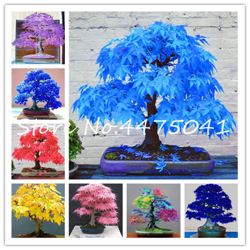 50 Pcs Rainbow Maple Bonsai Tree Plants. Rare Japanese Maple, Bonsai Flower Indoor Tree Plant In Family Garden 24 Kinds Colors