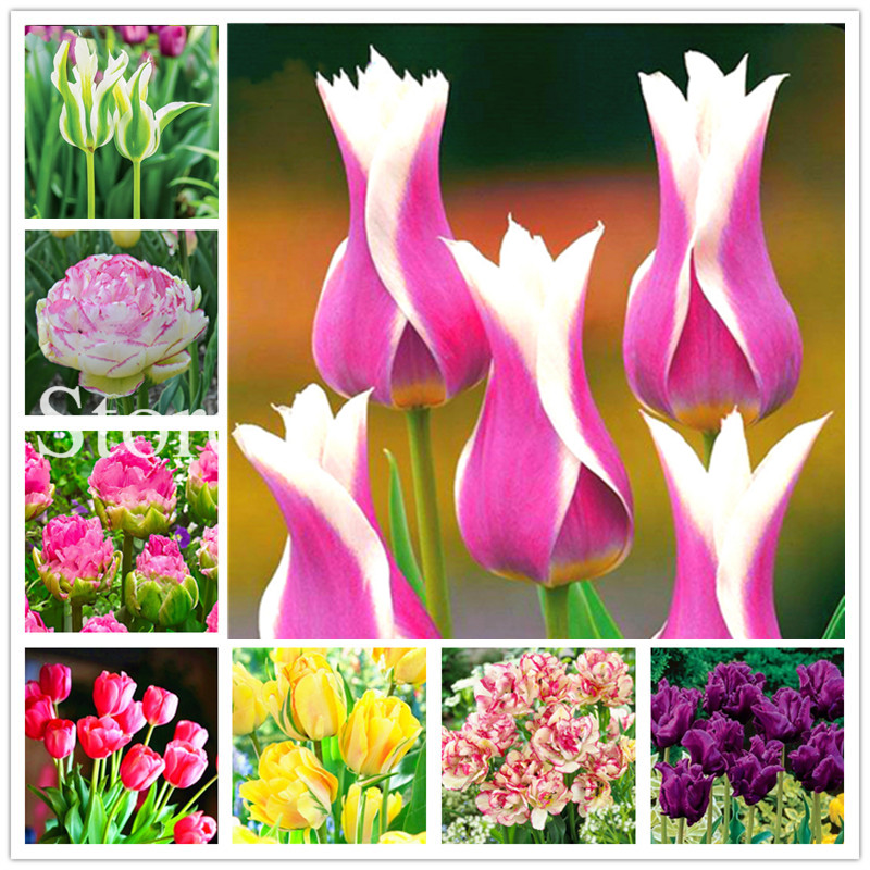 100 Pcs True Color Mixing Tulip Flower Plants, Bonsai Flower Flores, Symbolizes Courage And Lucky, Home Garden Ornamental Planta
