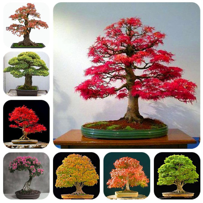 Hot Sale! 10 Pcs Maple Tree Bonsa, Bonsai Blue Maple Tree Japanese Maple Bonsa, Plants For Home Garden And Balcony, Easy To Grow